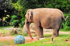 站立在蓝色球旁边的女性大象 免版税图库摄影