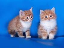 站立在蓝色的两只蓬松红色和白色小猫 免版税图库摄影