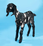站立在蓝色的黑,白色和红色Nubian羊羔 库存照片