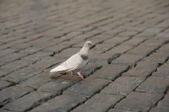 站立在被铺的街道的一个爪的一只孤独的鸽子 免版税库存照片