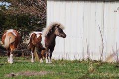 站立在谷仓前面的微型驴 库存照片