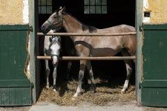 站立在谷仓的阿拉伯赛马 免版税库存图片
