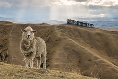 站立在象草的小山的美利奴绵羊 库存照片