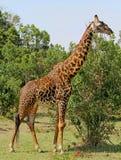 站立在豪华的绿色植被的Amale长颈鹿在绿色季节的南卢安瓜国家公园 免版税库存照片