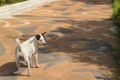 站立在走道的白色狗 免版税库存图片