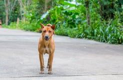 站立在路的狗 免版税库存照片