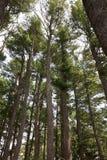 站立在路的高大的树木审阅森林 免版税图库摄影