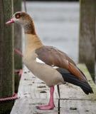 站立在跳船的鸭子在泰晤士的Henley 库存图片