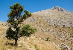 站立在道路的老孤零零树导致贫瘠山 免版税库存图片