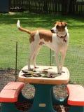 站立在野餐桌上的狗 库存照片