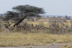 站立在金合欢树,埃托沙国家公园,纳米比亚树荫下的跳羚牧群  库存图片