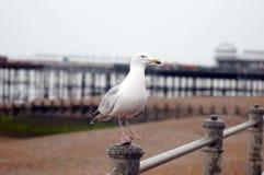 站立在金属棒的海鸥 库存照片