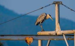 站立在金属横梁的灰色苍鹭 免版税库存照片