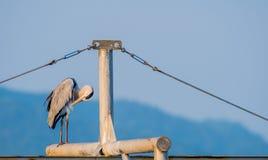 站立在金属横梁的灰色苍鹭 库存照片