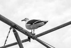 站立在金属管子的大海鸥 埃斯特角,乌拉圭 库存图片