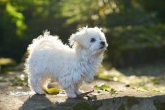 站立在阳光下在公园的马耳他狗 免版税库存图片