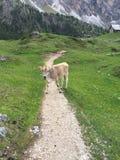 站立在阿尔卑斯的一串足迹中间的母牛 库存图片
