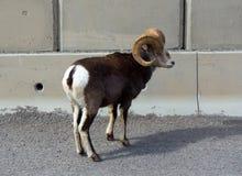 站立在阿拉斯加的一只长的垫铁绵羊hughway 库存图片