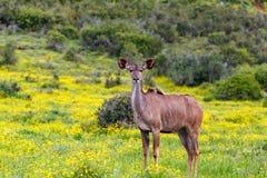 站立在雏菊花之间的女性kudu 免版税图库摄影