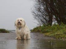 站立在雨中的狗 免版税库存照片