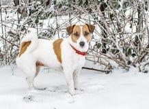 站立在雪和调查照相机的一条逗人喜爱的好奇狗杰克罗素狗 一张逗人喜爱的小狗画象在冷冷淡的冬天我们 图库摄影