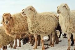 在雪的绵羊 免版税库存图片