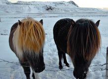站立在雪的冰岛马 免版税库存图片