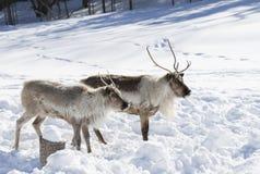 站立在雪的北美驯鹿 图库摄影
