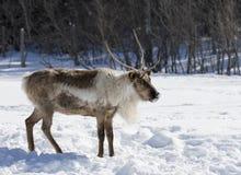 站立在雪的北美驯鹿 免版税库存照片
