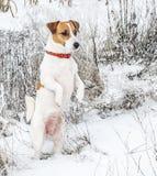 站立在雪的后腿和调查距离的一条好奇狗杰克罗素狗 一张逗人喜爱的小狗画象在冬天在 免版税库存图片