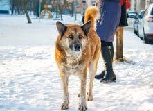 站立在雪的大红色狗 免版税库存照片