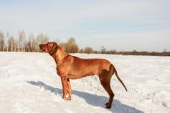 站立在雪的狗 库存图片