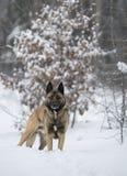 站立在雪的红发牧羊犬在冬天 图库摄影