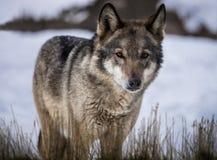 站立在雪的草的狼在森林里 免版税库存照片