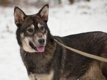 站立在雪的黑和灰色杂种狗 库存图片
