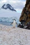 站立在雪的Chinstrap企鹅在南极洲 免版税库存照片