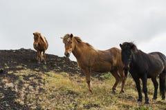 站立在青苔被盖的小山,冰岛的布朗和黑冰岛马 免版税图库摄影