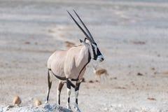 站立在非洲大草原,庄严埃托沙国家公园,最佳的旅行目的地的羚羊属在纳米比亚,非洲 图库摄影