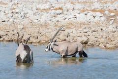 站立在非洲大草原,庄严埃托沙国家公园,最佳的旅行目的地的羚羊属在纳米比亚,非洲 免版税库存照片