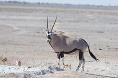 站立在非洲大草原,庄严埃托沙国家公园,最佳的旅行目的地的羚羊属在纳米比亚,非洲 库存图片