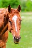 站立在领域和看的强有力的美丽的马 免版税库存照片