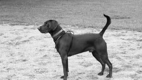 站立在领域的我的狗odin 免版税库存照片