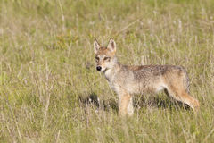 站立在领域的狼小狗 免版税库存图片