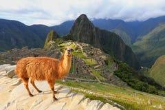 站立在马丘比丘的骆马在秘鲁俯视 免版税库存图片