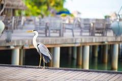 站立在马尔代夫的白色海滩的灰色苍鹭 库存照片
