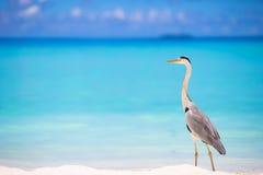 站立在马尔代夫的白色海滩的灰色苍鹭 免版税图库摄影