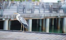 站立在马尔代夫的白色海滩的灰色苍鹭 免版税库存照片