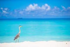 站立在马尔代夫的白色海滩的灰色苍鹭 免版税库存图片