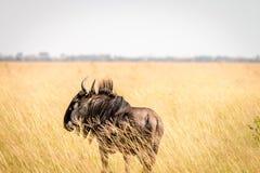 站立在高草的一匹蓝色角马 免版税库存图片