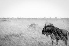 站立在高草的一匹蓝色角马 库存图片
